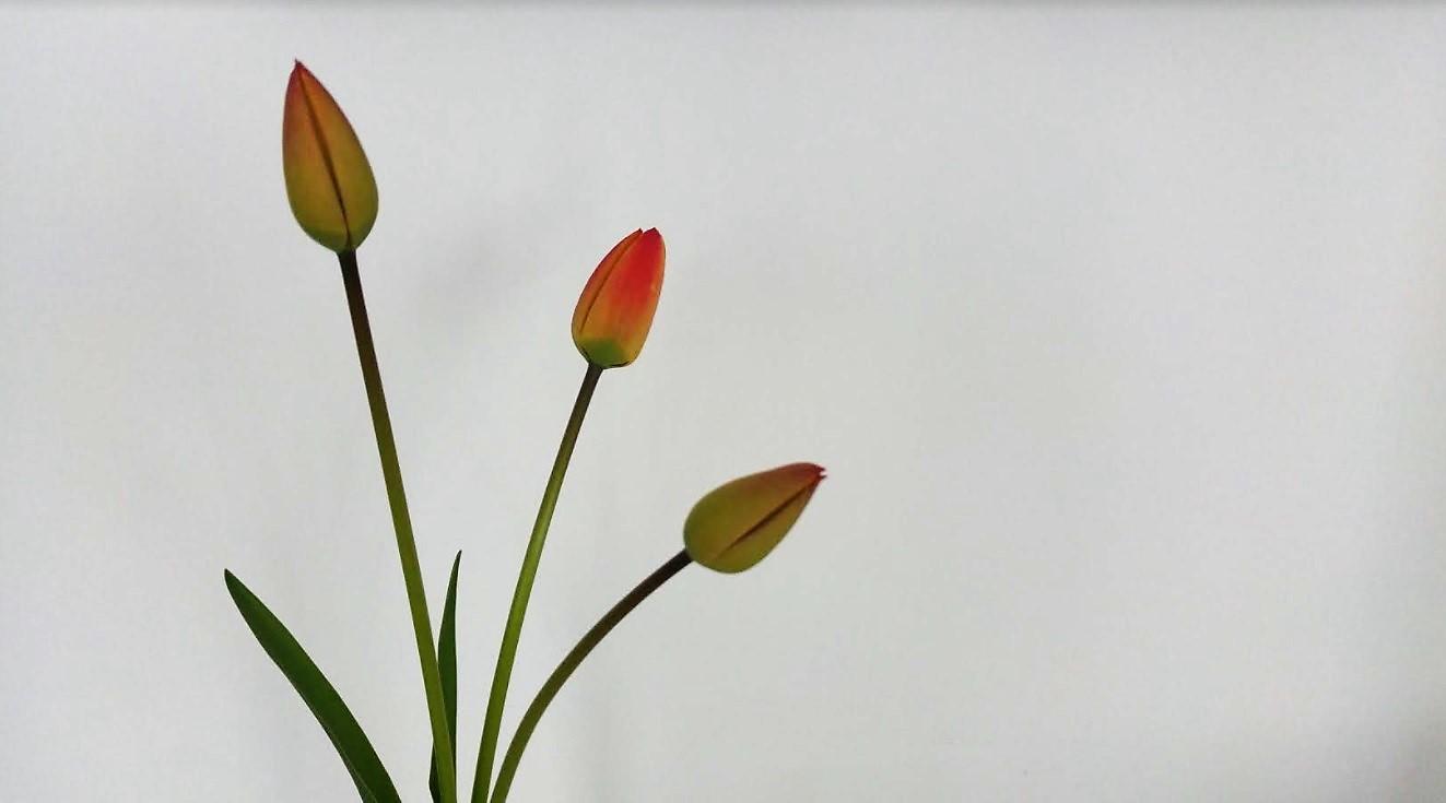 tulipan-01-sobota-ok
